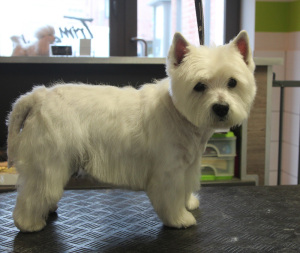 West Highland white terrier na