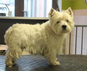 West Highland white terrier voor